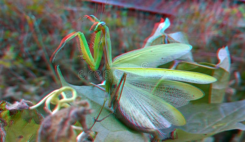 3D, anaglyph. Praying mantis, predator insect. 3D anaglyph, macro of Praying Mantis or Mantis Religiosa in a natural habitat. It looking at the camera. Predator stock photography