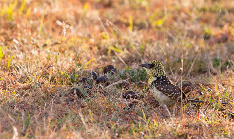 Download D´Arnaud´s Barbet On The Ground Stock Photo - Image: 24141674