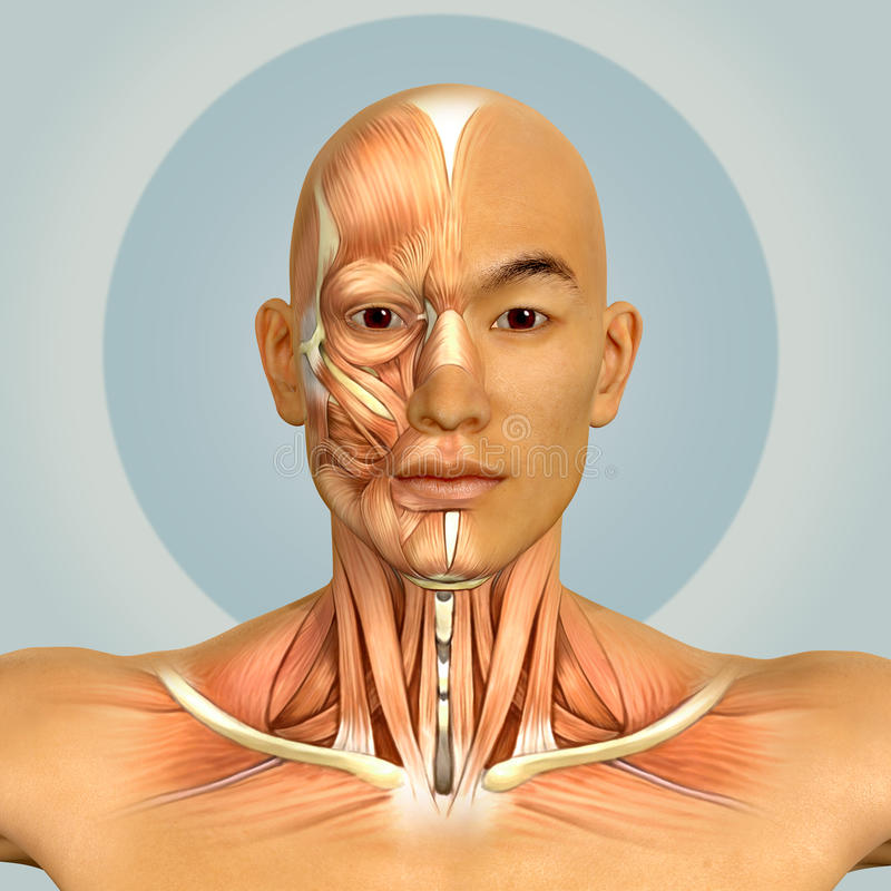 3d Asian Male Model Face And Neck Muscles Anatomy Stock Illustration