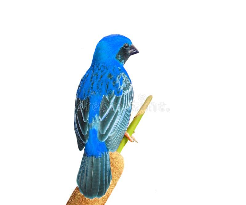 Download D'or asiatique photo stock. Image du mâle, oiseau, animal - 45359456