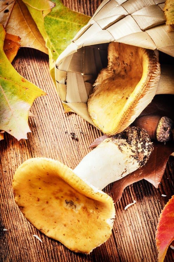 D'automne toujours la vie avec les champignons comestibles (russula) photo stock
