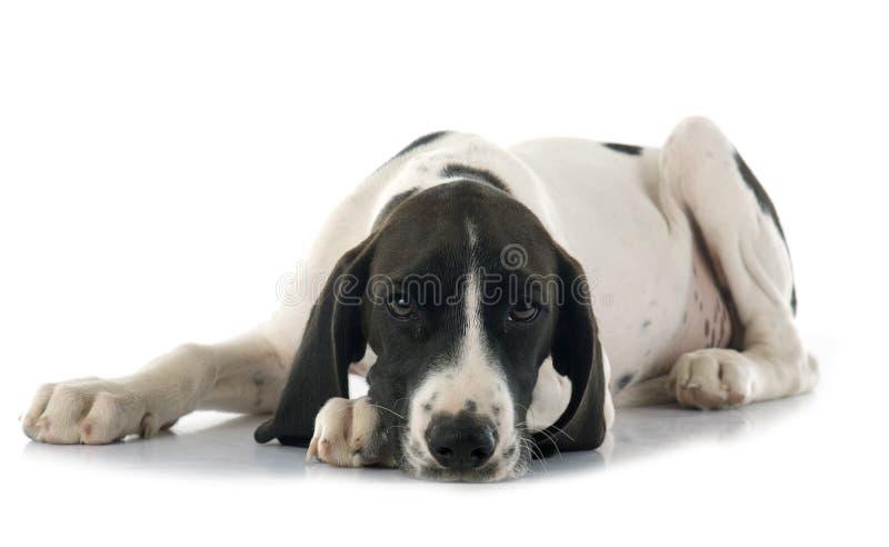 D'Auvergne de Braque del perrito imagen de archivo