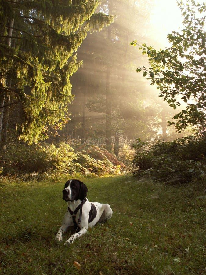 D'auvergne del braque del perro imagen de archivo