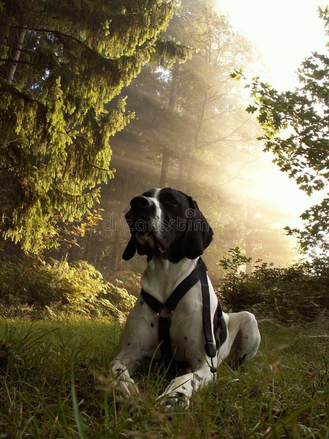 D'auvergne del braque del perro imagen de archivo libre de regalías