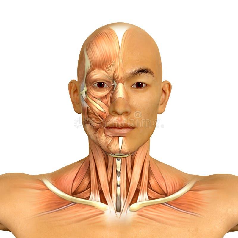 3d Aziatische mannelijke modelgezicht en halsspierenanatomie vector illustratie