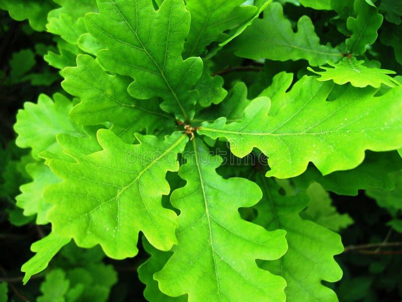 Download Dąb zdjęcie stock. Obraz złożonej z drzewa, colour, trawy - 141252