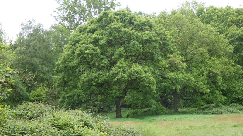 D?bowy drzewo w lesie zdjęcie stock