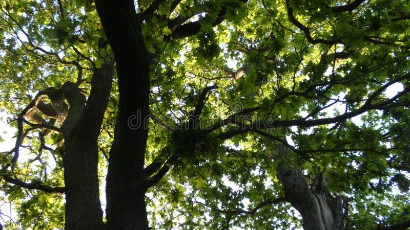 D?bowy Duir Quercus drzewo przy zmierzchem zdjęcia royalty free