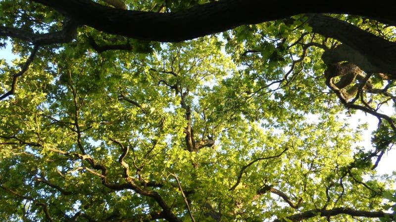 D?bowy Duir Quercus drzewo przy zmierzchem fotografia royalty free