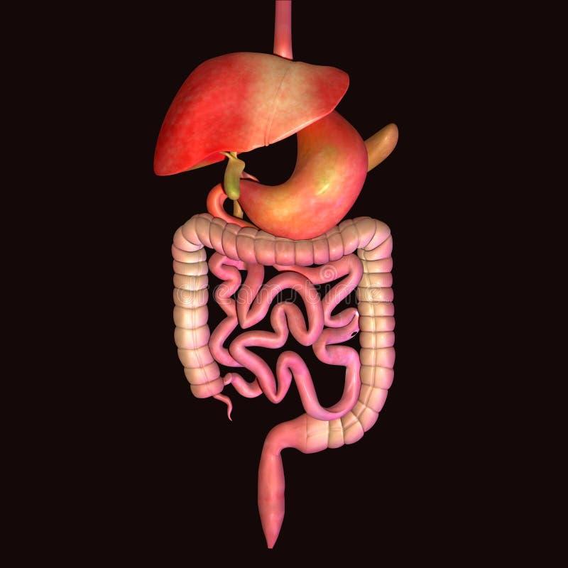 3d digenative systeem van het illustratie menselijke lichaam royalty-vrije illustratie