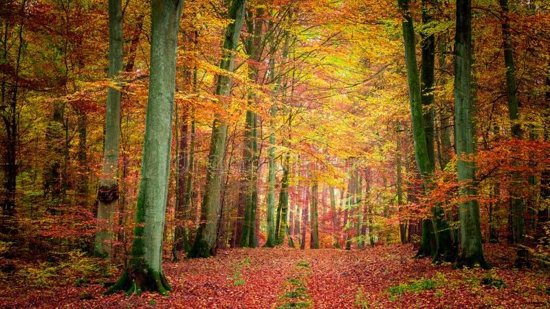 D'or et brun dans la forêt en automne, Pologne photographie stock libre de droits