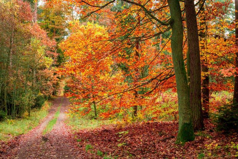 D'or et rouge part dans la forêt d'automne, Pologne photos stock