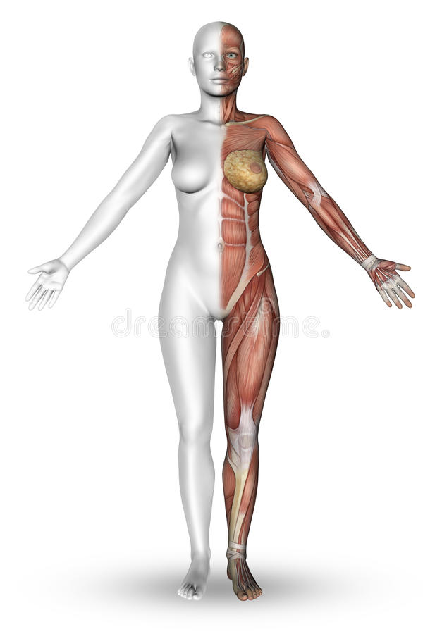 3D Female Figure With Muscle Map Stock Illustration - Illustration ...