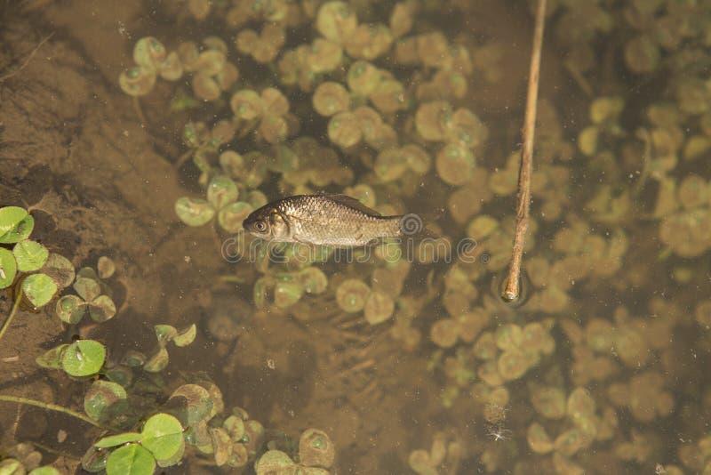 D?d fisk i det kontaminerade sj?vattnet royaltyfria foton