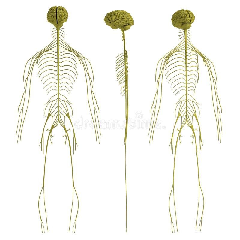 3d framför av nervsystemet royaltyfri illustrationer
