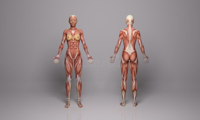 3D framför: stående illustration för kvinnlig kropp med muskelsilkespapperskärm vektor illustrationer