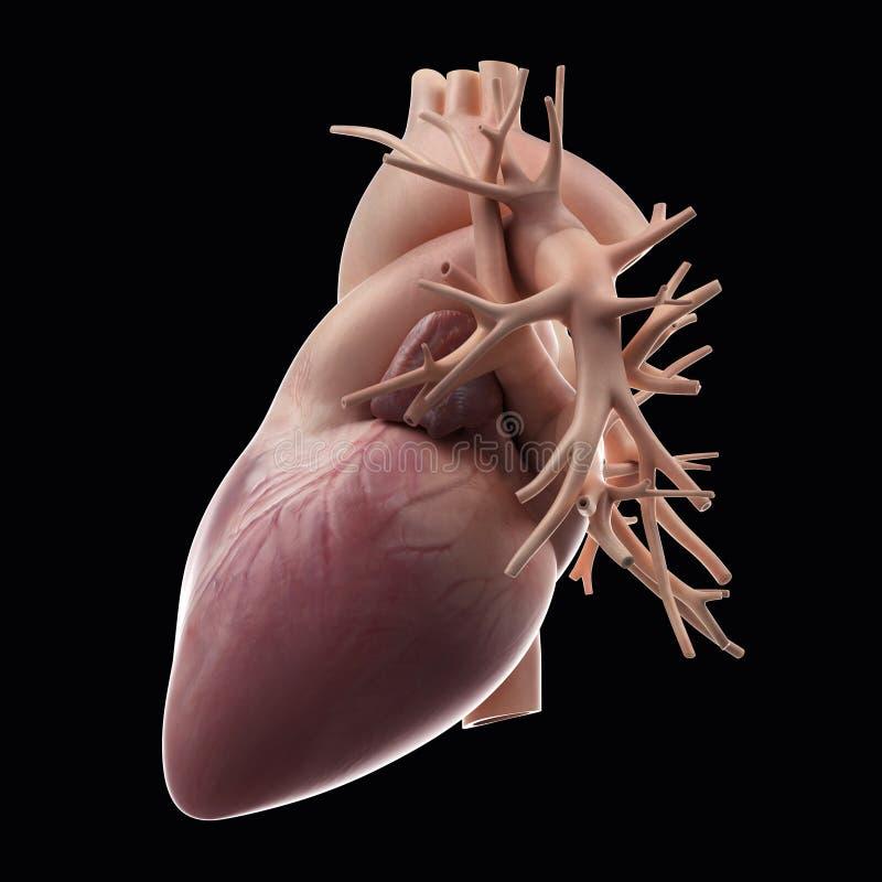 3D framförde den anatomical illustrationen vektor illustrationer