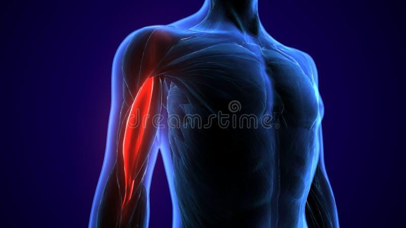 3d framförde, den medically exakta illustrationen av brachioradialisna stock illustrationer