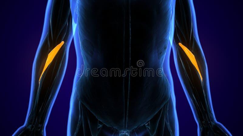 3d framförde, den medically exakta illustrationen av brachioradialisna royaltyfri illustrationer