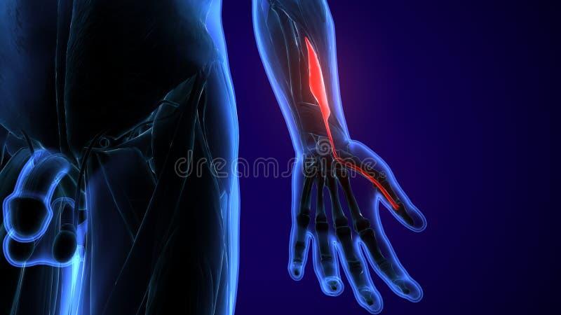 3d framförde, den medically exakta illustrationen av brachioradialisna vektor illustrationer
