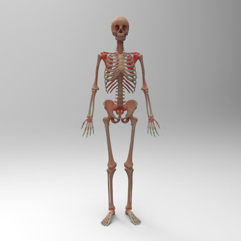 3d framförde den medically exakta illustrationen av skelett- anatomi royaltyfri illustrationer