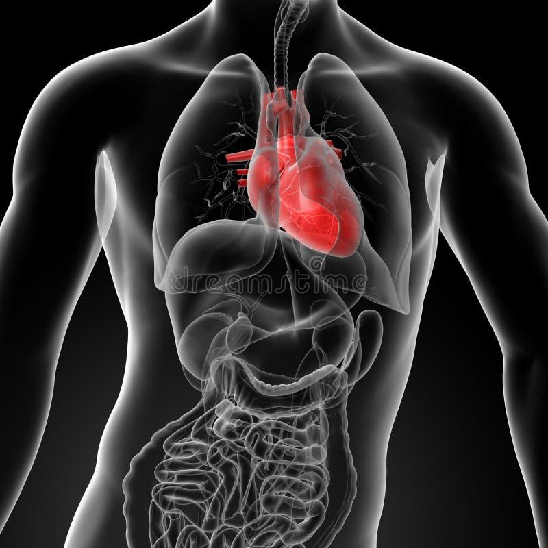 3d geef menselijke hartanatomie terug vector illustratie