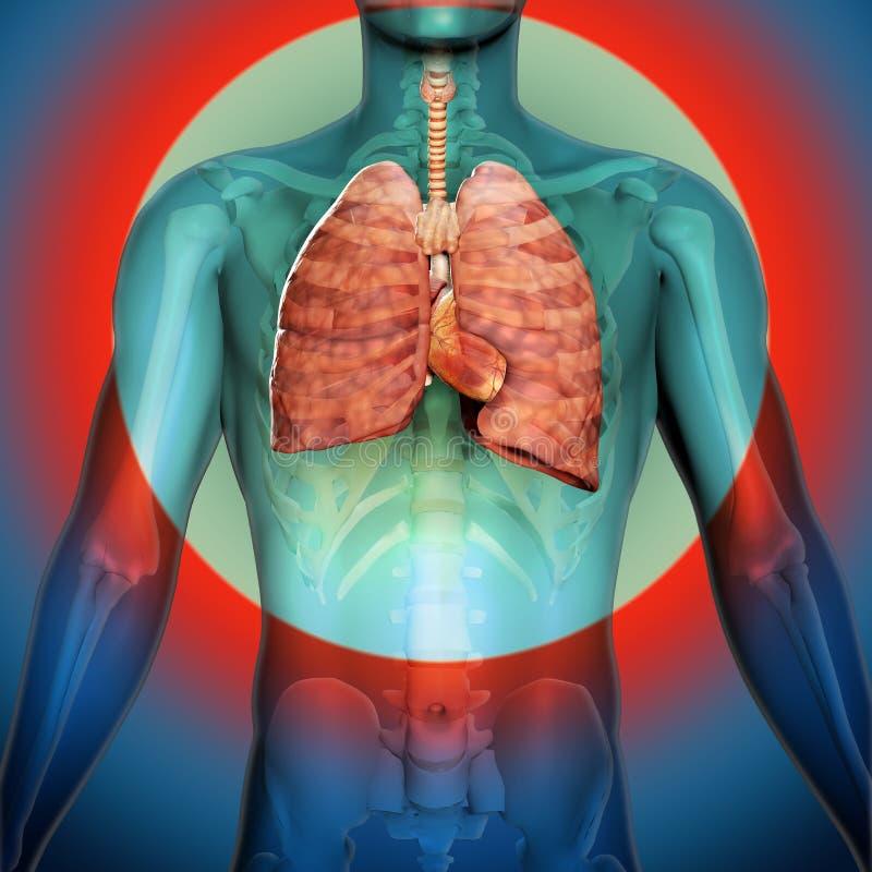 3d geef van de Menselijke Anatomie van Ademhalingssysteemlongen terug stock illustratie
