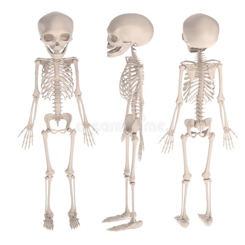 3d geef van foetusskelet terug vector illustratie