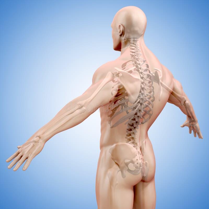 3d geef van menselijk lichaam en skelet terug royalty-vrije illustratie