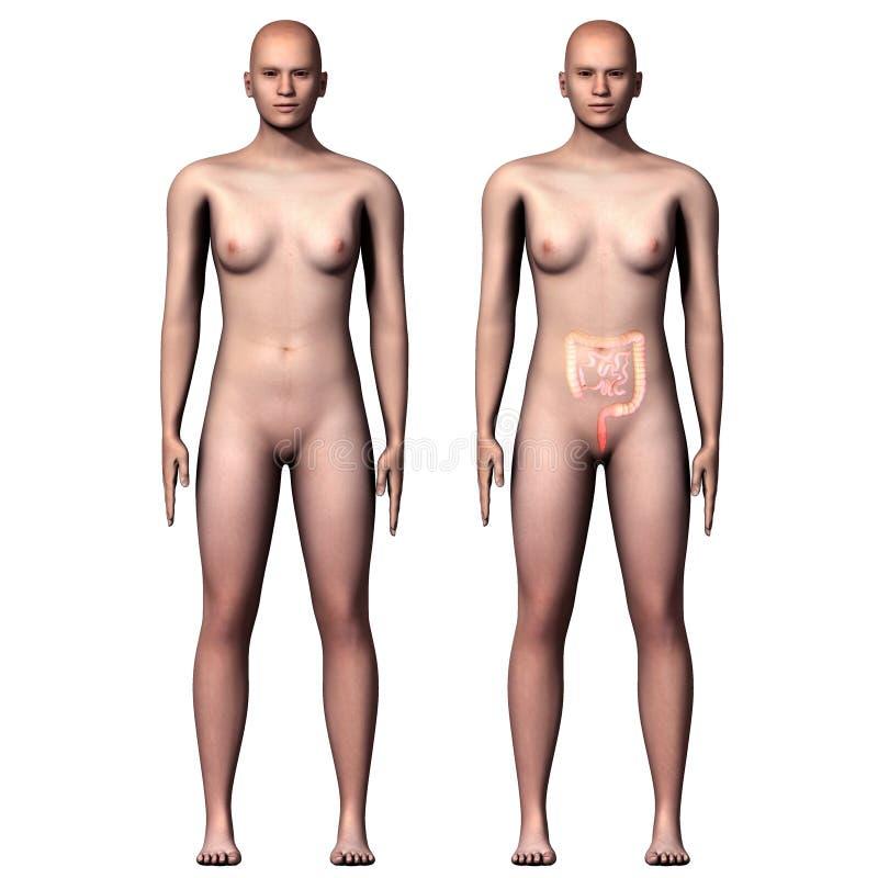 3d Groot illustratie menselijk lichaam en Dunne darm vector illustratie