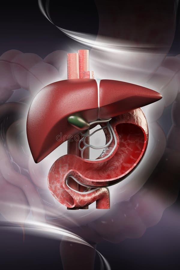 3d ha reso gli organi umani sul fondo di colore illustrazione vettoriale