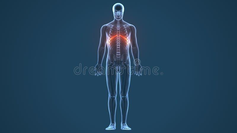 3d ha reso l'illustrazione - sistema della cartilagine costale illustrazione vettoriale