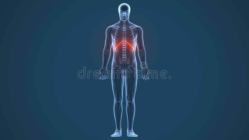 3d ha reso l'illustrazione - sistema della cartilagine costale illustrazione di stock