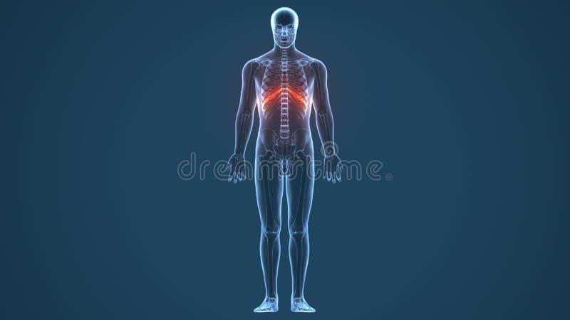 3d ha reso l'illustrazione - sistema della cartilagine costale royalty illustrazione gratis