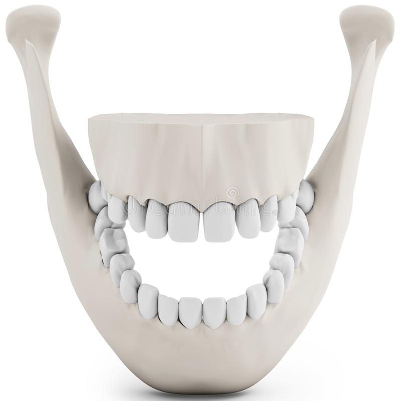 3d Human Jaw Bone Opened With Teeth Stock Illustration