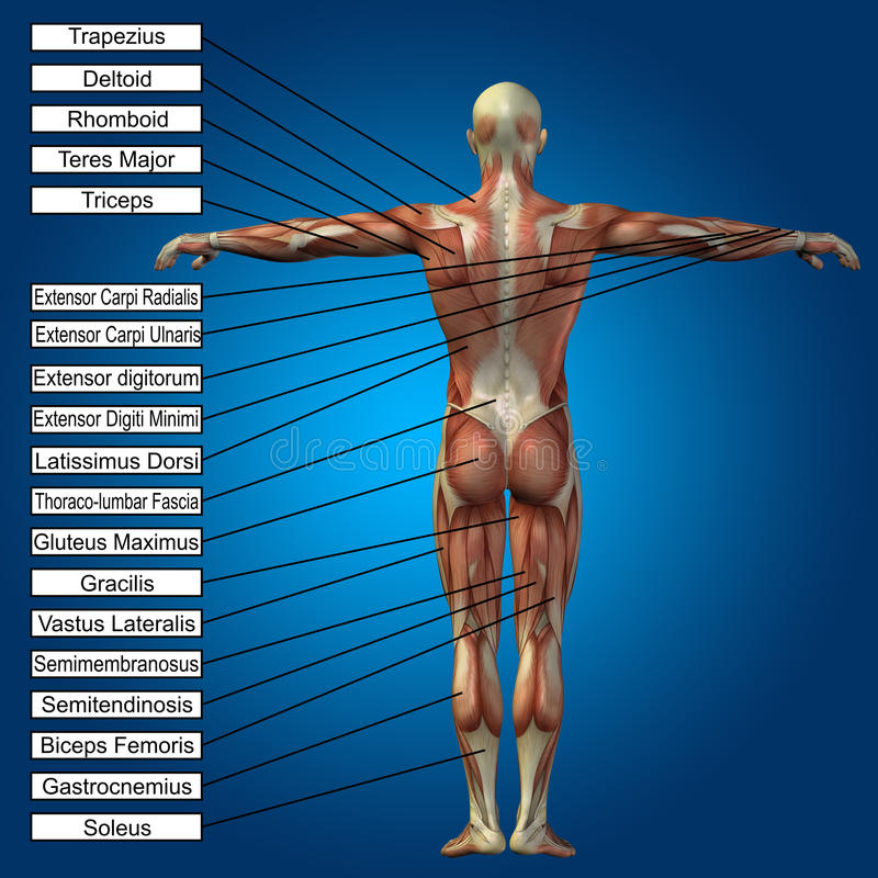 3D human male anatomy with muscles and text. On blue background royalty free illustration