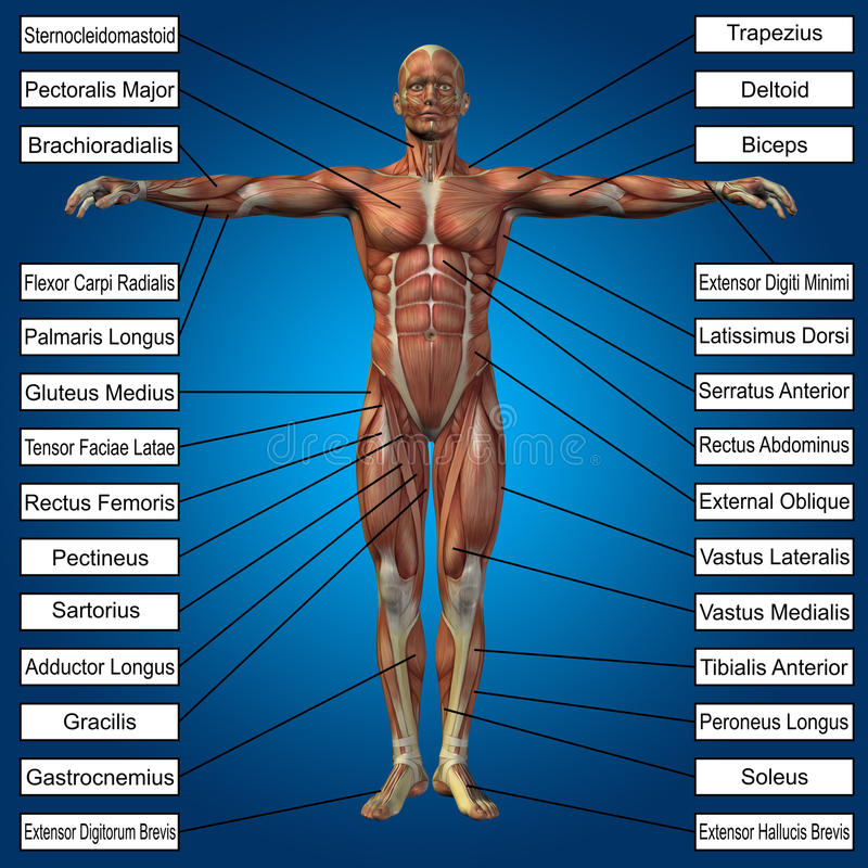 3D human male anatomy with muscles and text. On blue background vector illustration