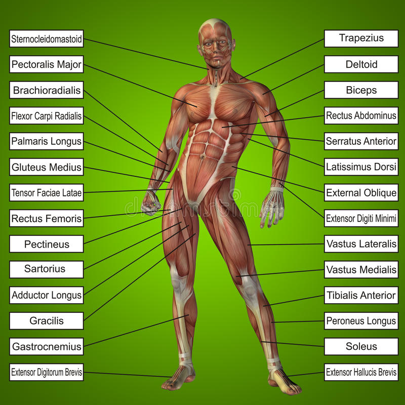 3D human male anatomy with muscles and text. On green background stock illustration