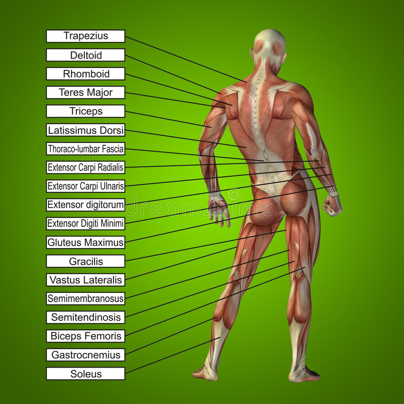 3D Human Male Anatomy With Muscles And Text Stock Photo - Image of ...