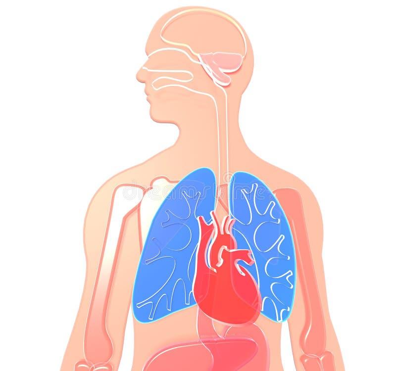 3D illustratie menselijke die anatomie van semitransparent benadrukt plastiek, longen en hart wordt gemaakt stock illustratie