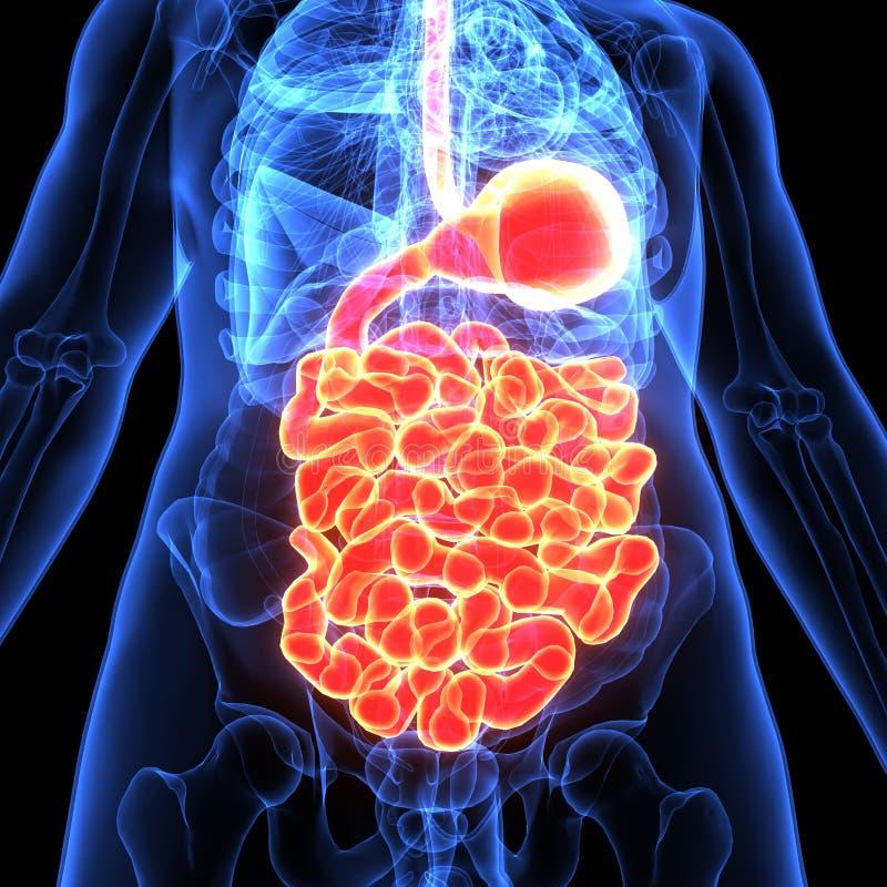 3d illustratie van anatomie van het menselijk lichaams de spijsverteringssysteem royalty-vrije illustratie