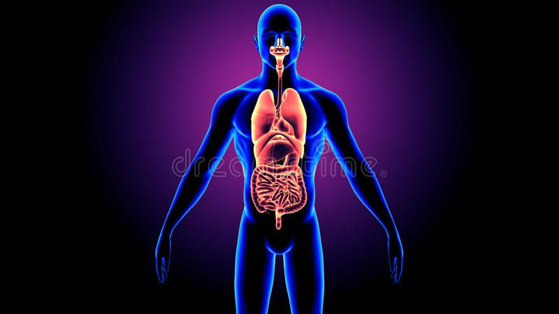 3D Illustratie van de Anatomie van Menselijk Lichaamsorganen royalty-vrije illustratie