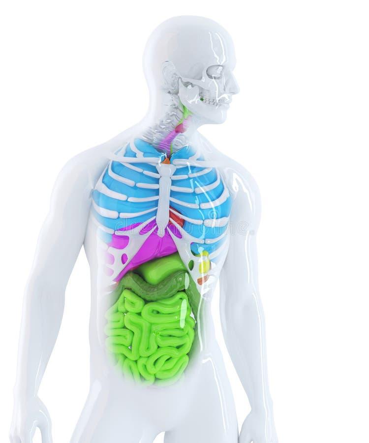 3d illustratie van de menselijke anatomie Geïsoleerde Bevat het knippen weg royalty-vrije illustratie