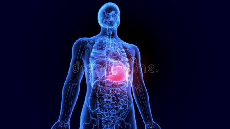 3D Illustratie van de Menselijke Spijsverteringsmaag van de systeemanatomie met Dunne darm royalty-vrije illustratie