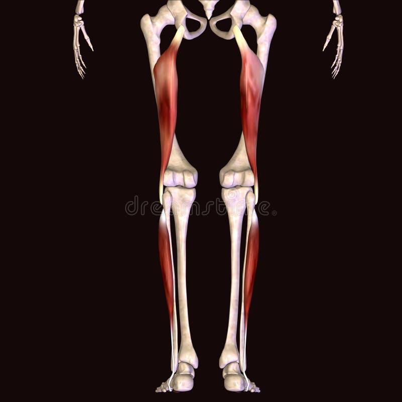 3d illustratie van de spier van het menselijk lichaamsskelet stock illustratie