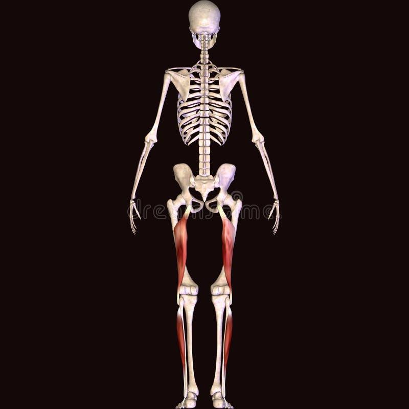 3d illustratie van de spier van het menselijk lichaamsskelet vector illustratie