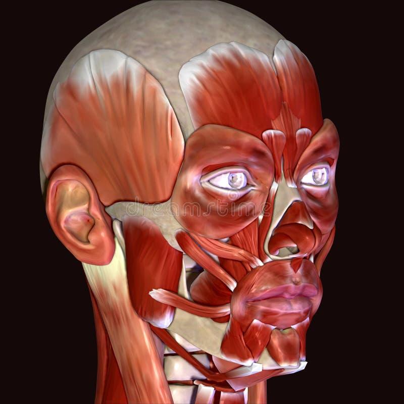 3d illustratie van de spieren van het menselijk lichaamsgezicht vector illustratie