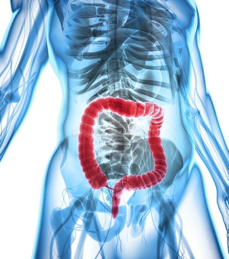 3D illustratie van Dikke darm vector illustratie