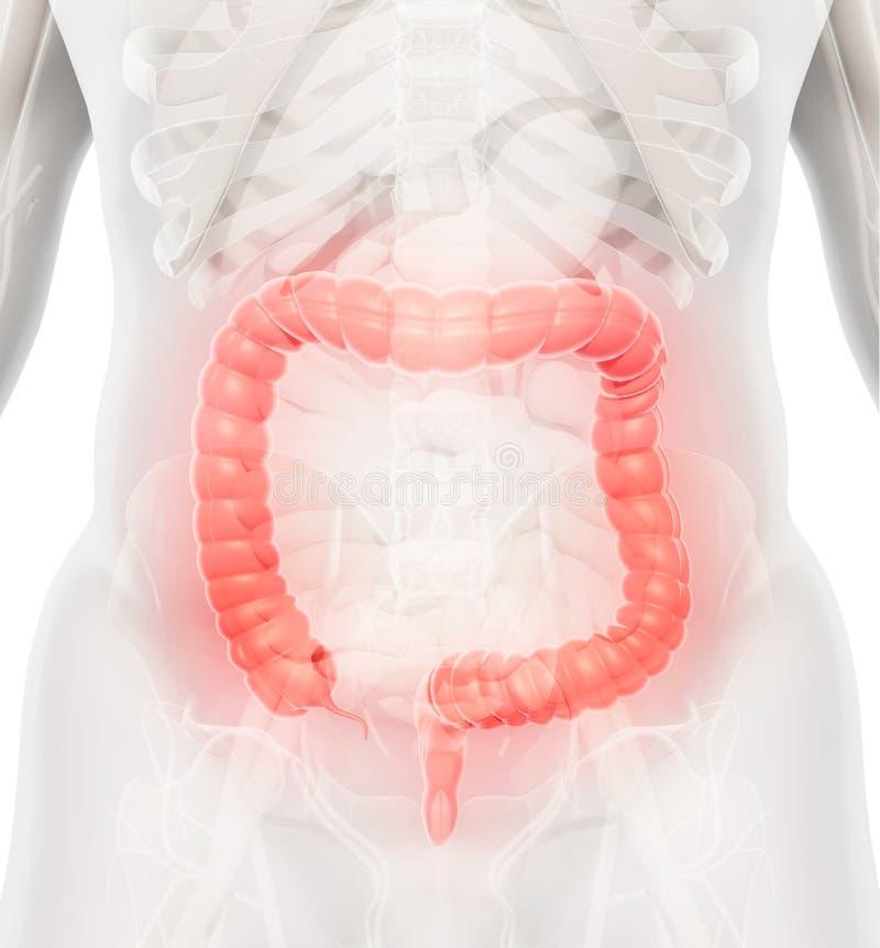 3D illustratie van Dikke darm stock illustratie