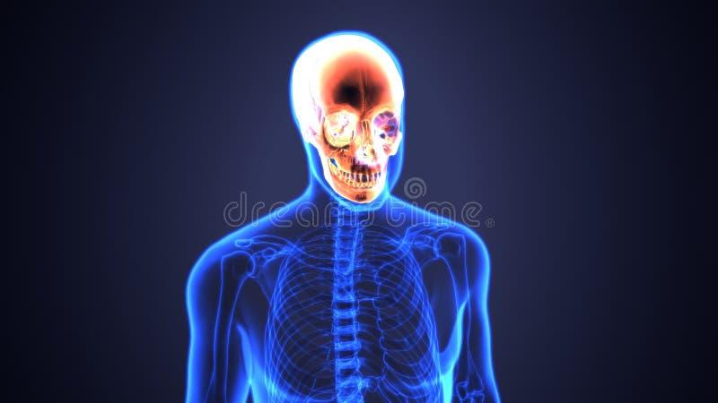 3d illustratie van het Menselijke Diagram van de Schedelanatomie | Periodiek royalty-vrije illustratie
